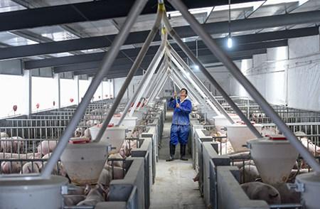 """破解生猪""""无处容身""""的""""生死关"""" 高床生态养殖实现养猪污水零排放"""