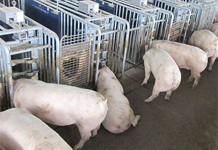 猪场能手~~我是怎样留种母猪的!