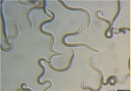 夏季这种猪易发的人畜共患病,25张实图帮你鉴别!