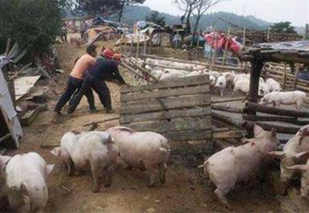 农业部力挺养殖户 猪场不能一拆了之