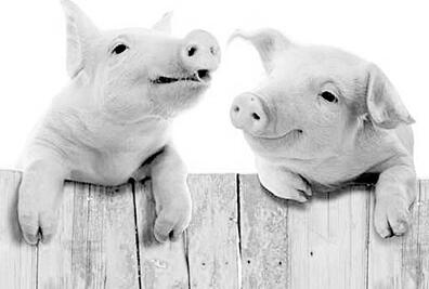 猪脑细胞有何用处?植入人脑或能治疗神经疾病