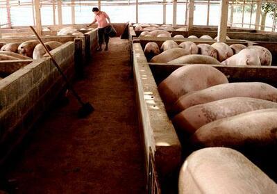 7人养25000头猪,成本仅5.8元/斤,这猪场为何这么牛?