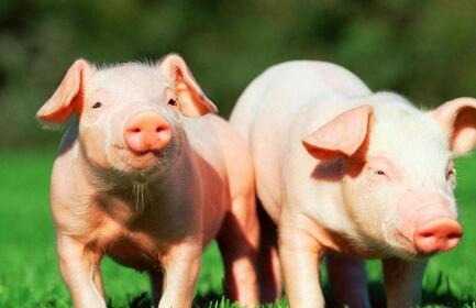 注意了!拆了你的养猪场,就必须得给你补偿