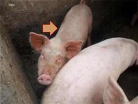 各种猪霉菌毒素中毒症状 一不小心就误诊!(图/文)