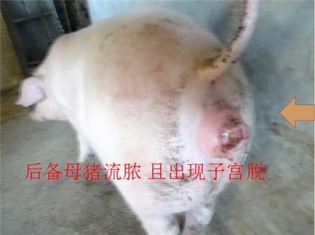 各种猪霉菌毒素中毒症状 一不小心就误诊!(图\/文)