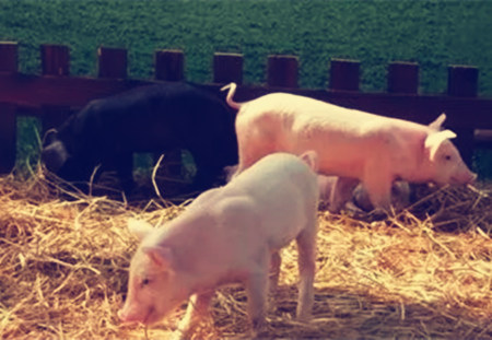后备母猪不发情怎么办?教你8招催情技术!