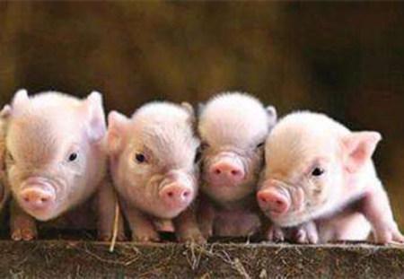 生猪常见的几种胃肠道疾病的防治