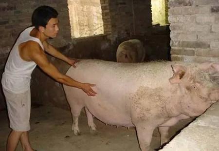 分析母猪产后的重点工作及出现异常情况的防治