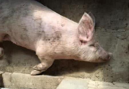 """猪""""腿拐""""学问多,如何鉴别诊断及治疗"""