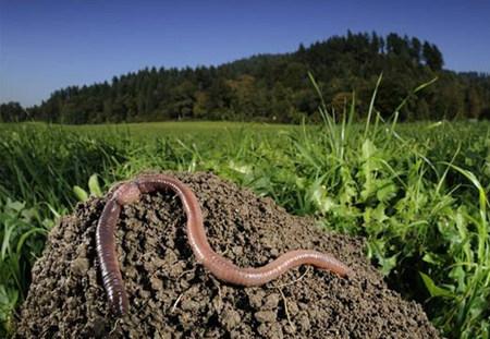 治好猪病,这个土里的蚯蚓不愧是土法良方!