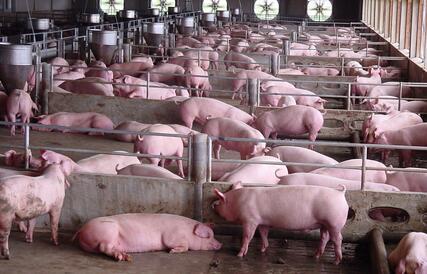 江西九江猪肉价格跌三成 批发商:基本上没有钱赚
