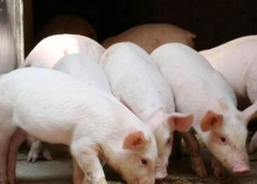 研究生毕业坚定信念回乡养猪创业 带贫困户脱贫致富