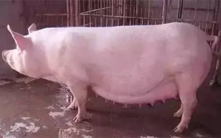 母猪难产,怎么办?绝招都在这篇文章是里!