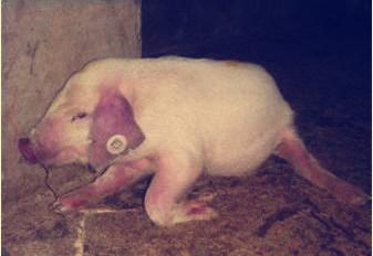 猪瘫痪是什么神经受损,如何鉴别诊断?