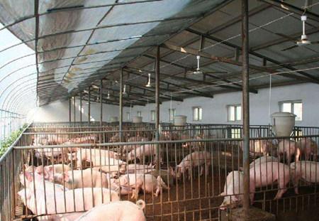 工厂化养猪场与传统养猪场建设区别