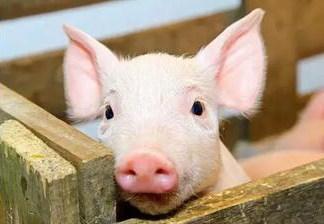 猪场仔猪日常保健怎么做的?这一篇文章讲得很透彻!