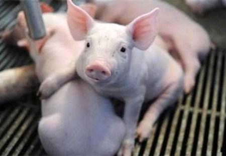 新生仔猪精细化管理要点,值得收藏!