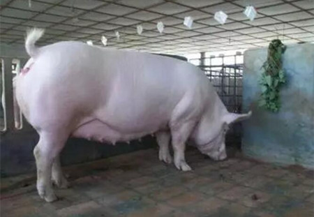 养猪经验顺口溜之母猪发情与配种