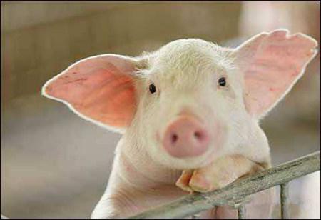 饲料中添加这些东西,不仅能防猪热应激,还能开胃增重!