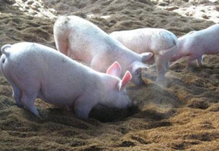 地下式发酵床养猪场建造的注意事项