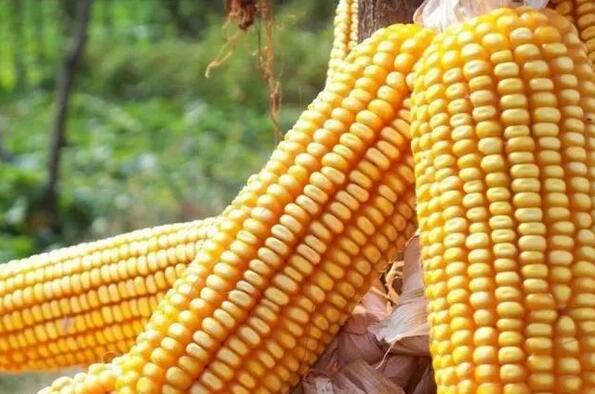 华北玉米价格领涨全国!历史惊人相似,莫非要跌了?