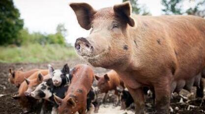 猪价有稳中伴小涨态势 后期有望突破7元大关