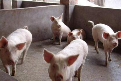 重庆石柱打工女回乡创业 深山养猪奔上致富路
