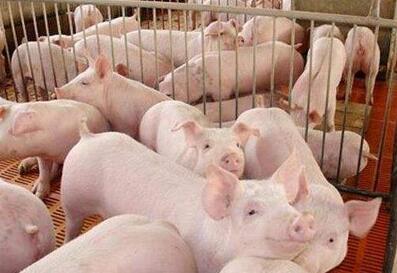 柬埔寨 ——每天大概一万只非法进口猪流进本国