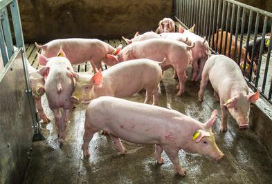 赔本!越南猪价仅三块多!养猪人还有得救吗?