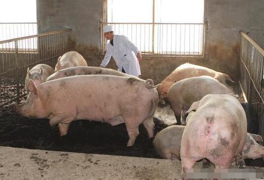猪价涨二次育肥能赚多少钱?养猪还能这样去挣钱