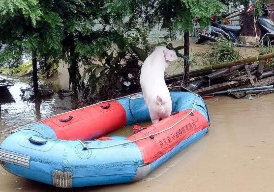 洪水来袭!猪圈被淹,