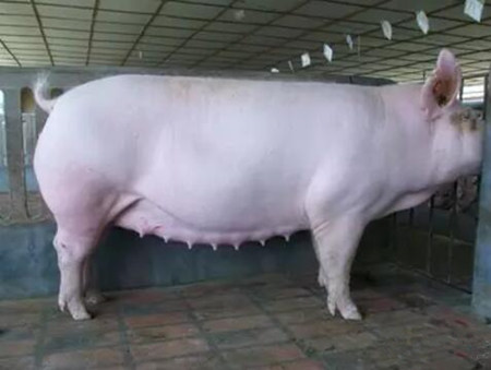 临产母猪这么养,产后母仔都健康!