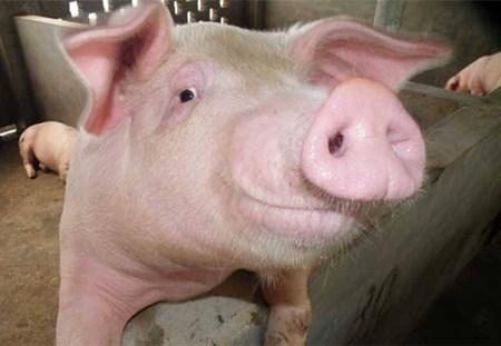 养殖户应了解的种母猪挑选方法!