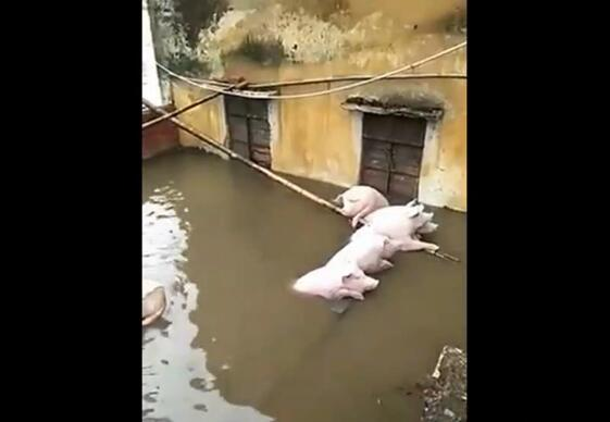 窝被淹了,猪自救,谁说猪笨的?