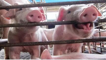 要警惕西方借环保牌 毁灭中国养猪业!