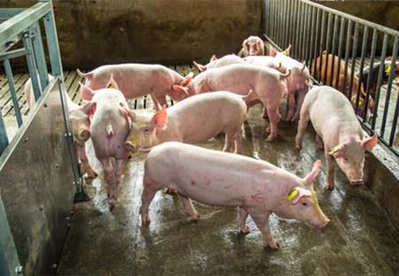 产仔阶段,猪场管理的常见十大漏洞!