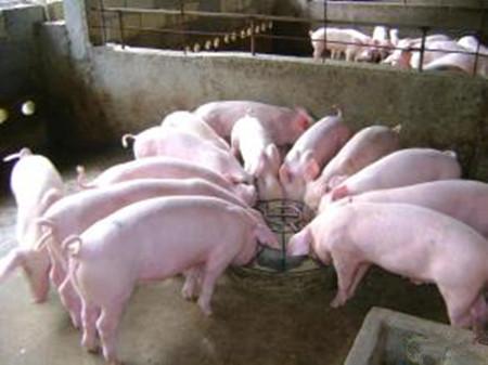炎炎夏日,母猪燥热不食?猪场通风设施350元/㎡可以这么建!