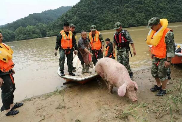 江西现史上最命硬母猪,被山洪冲到下游20公里奇迹生还