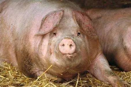 夏季母猪低烧不食的原因及防治措施