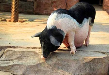 养好母猪的关键三点,做好就能赚钱