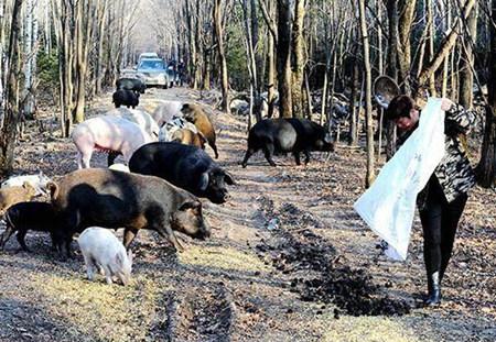 散养法养猪与固定栏舍法养猪的优劣势分析