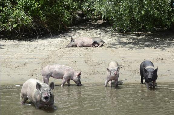 动物保护组织偷猪,声称猪受到了虐待