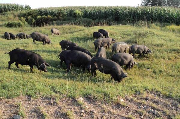 养殖这种猪,好多猪农盖起了新房!