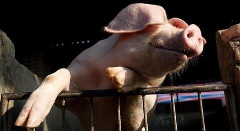 """猪市上涨脚步能否站稳?猪价上""""8""""是否不是梦?"""