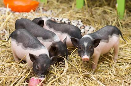 猪场环保怎么做?4位专家提出这些环保新方案