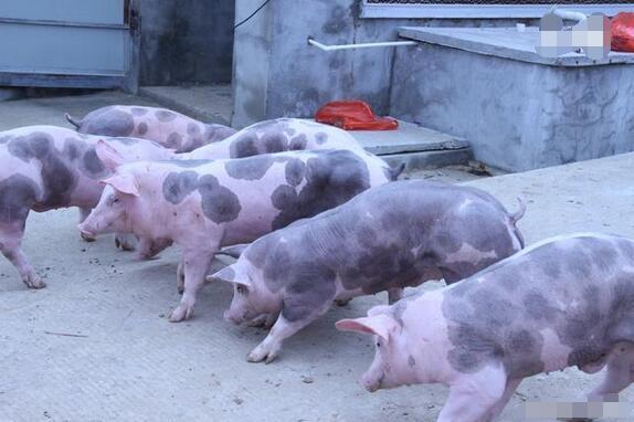 引入种猪后如何进行饲养管理 提高种猪品质方法介绍