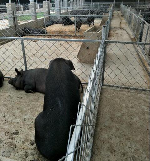 猪场降温设施利弊 哪种装备符合你的气质