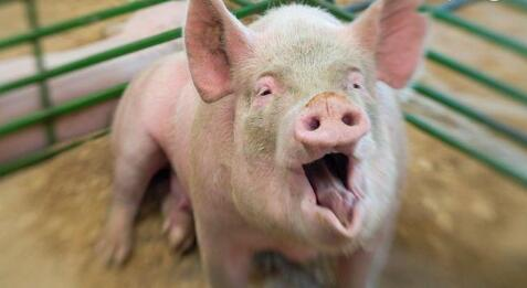 全国猪价大部飘红 暴雨利好还将持续!