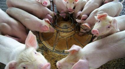 西南猪价即将发力!生猪流通决定7月猪价走势!