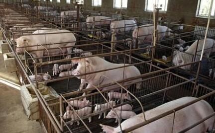 全国猪价涨跌风向标:四川成为养猪业猪价的副班长